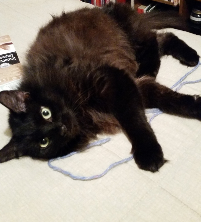 scarlet the black long haired cat